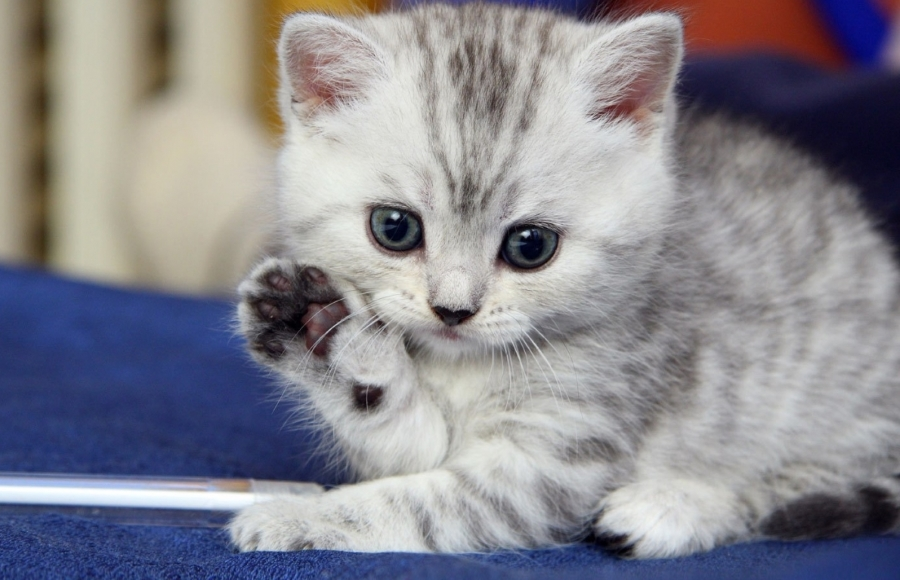 Cute kitten waving goodbye. Thanks to http://briff.me/2015/01/02/animals-waving-goodbye/